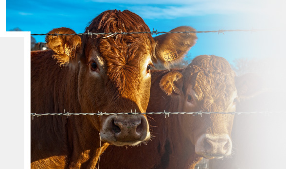 Two cows behind a barbed wire fence